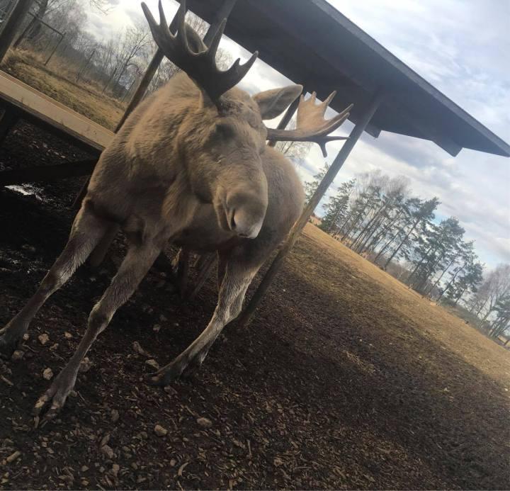 swedish elk