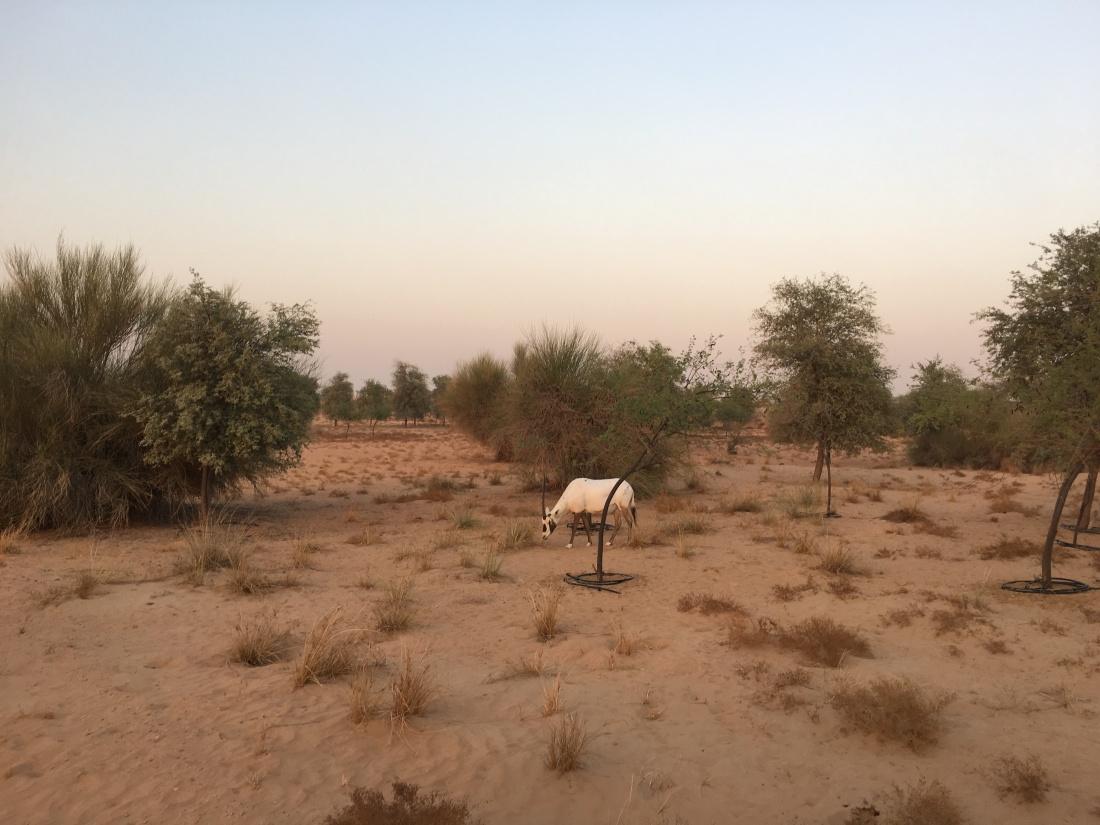 Oryx dubai desert conservation reserve