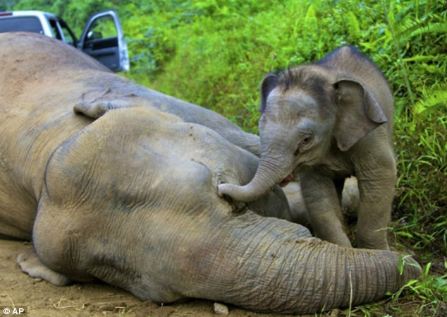 elephants mourn dead